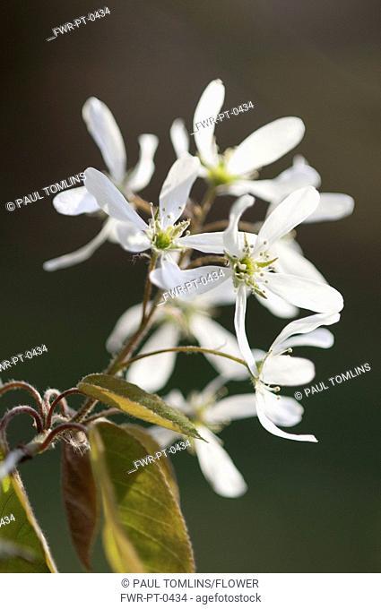 Snowy mespilus, Amelanchier lamarckii