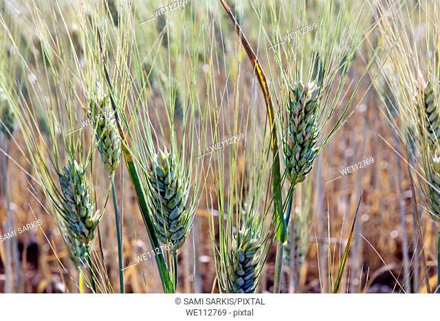 Golden wheat grains, Provence, France