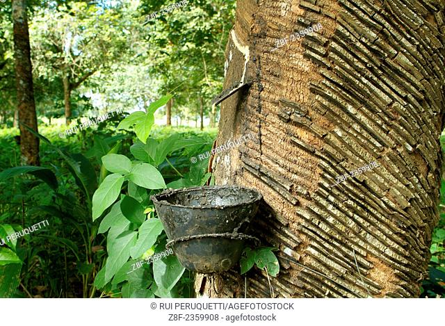 Extraction of latex from the Pará rubber tree (Hevea Brasiliensis ) , Rio Branco , AC , Acre