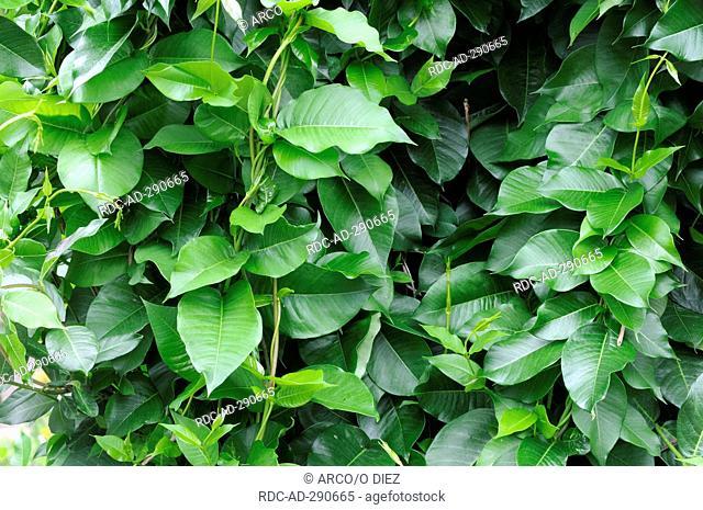 Silk Vine / Periploca graeca