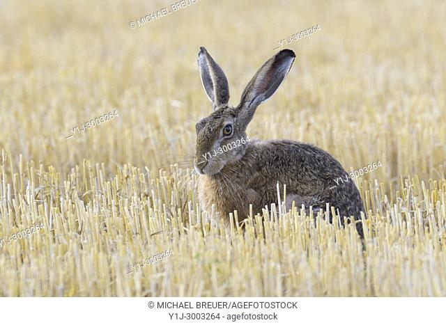 European brown hare (Lepus europaeus) on stubblefield, Hesse, Germany, Europe