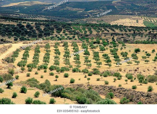 amazing view on Crete island, Greece, Olive trees, plantation