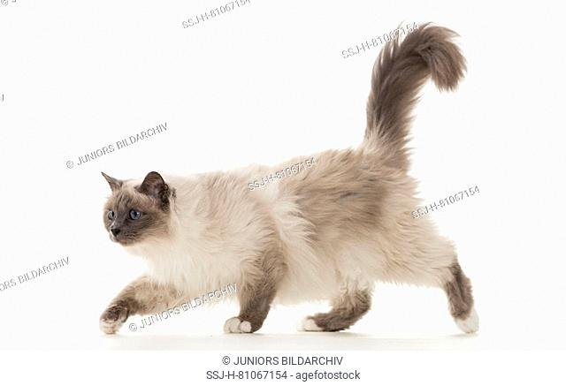 Sacred cat of Burma. Adult walking. Studio picture against a white background. Germany