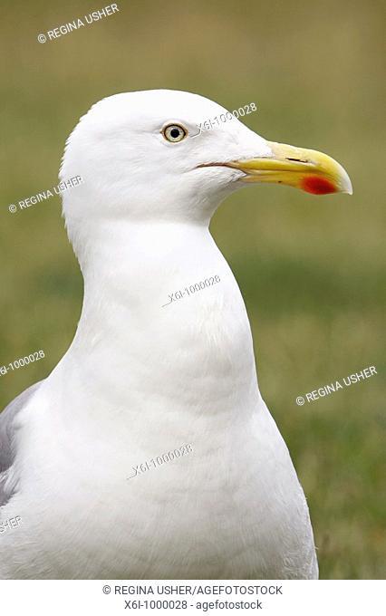 Herring Gull Larus argentatus, portrait, Texel, Holland