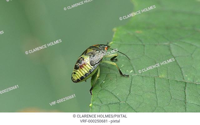 A Green Stink Bug (Chinavia hilaris) nymph, 5th instar, walks on a leaf