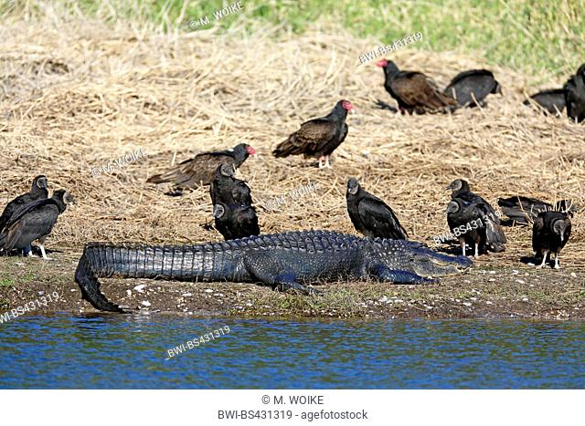 American alligator (Alligator mississippiensis), lies at the riverside, surrounded by black and turkey vultures, USA, Florida