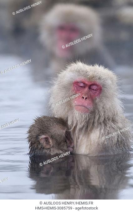 Japan, Japanese macaque or snow japanese monkey, baby and mom in onsen (Macaca fuscata)