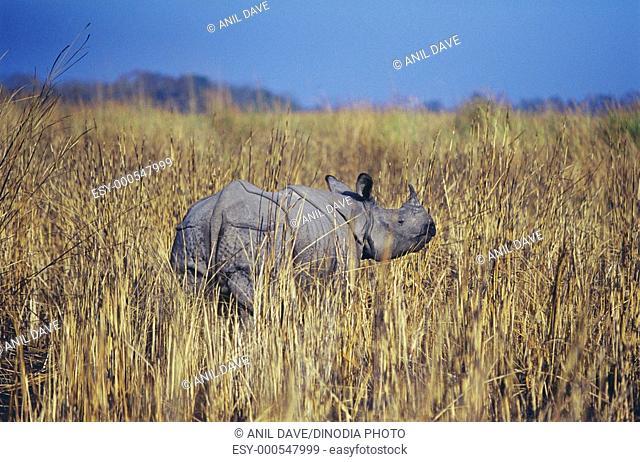 Rhinoceros one horned rhinoceros unicornis , Kaziranga National Park , Assam , India