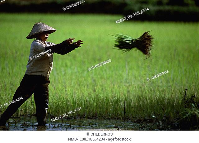Side profile of a farmer throwing a bundle of rice, Vietnam