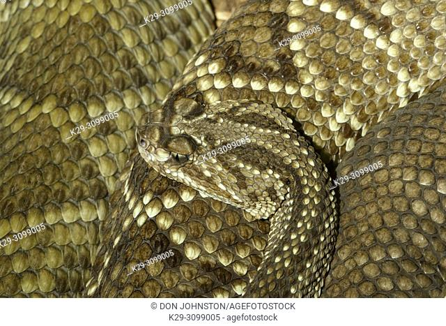 Neotropical rattlesnake (Crotalus durissus) Captive. Native to Central and South America, Reptilia reptile zoo, Vaughan, Ontario, Canada