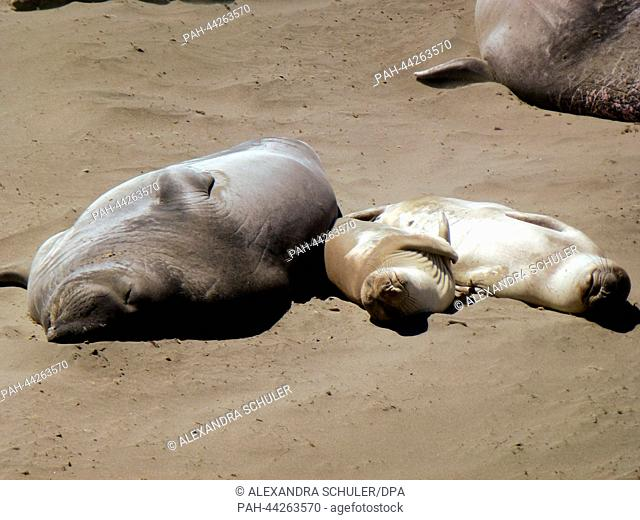 A female sea elephant and her children lie at the beach of Piedras Blancas at the Big Sur, Highway 1 near by San Simeon in California, United States of America