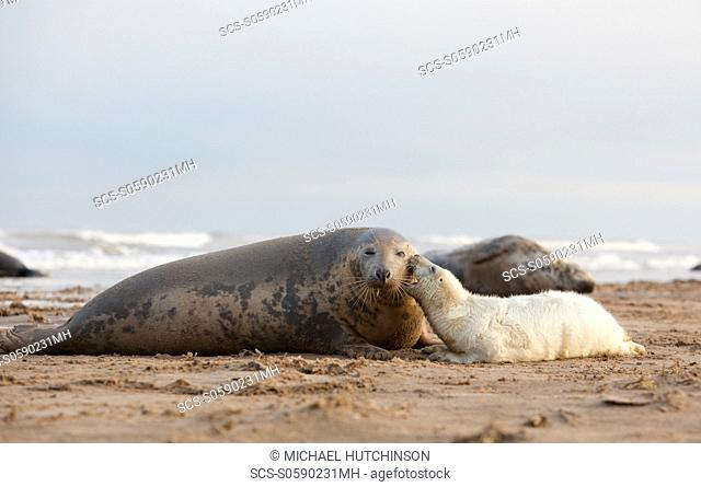 Grey Seal Halichoerus grypus pup 'biting' mother November Donna Nook, Lincolnshire, UK