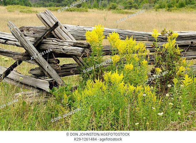 Cedar split-rail fence with goldenrod