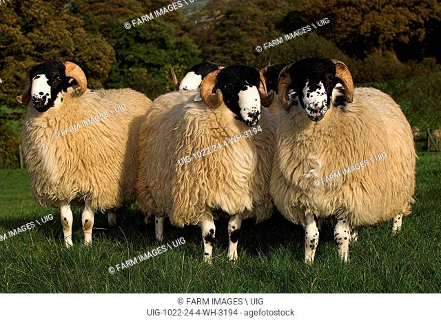 Rough Fell ram lambs ready for autumn sales Sedbergh Cumbria. (Photo by: Wayne Hutchinson/Farm Images/UIG)