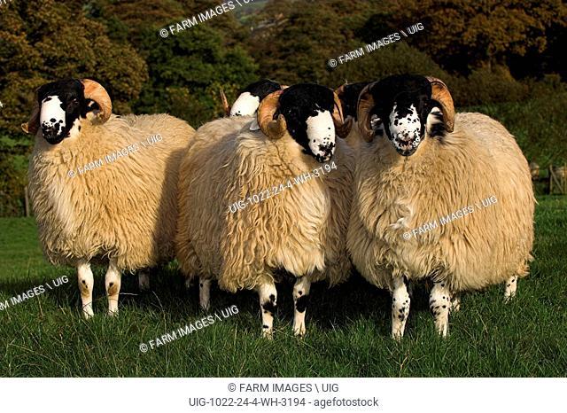 Rough Fell ram lambs ready for autumn sales Sedbergh Cumbria. (Photo by: Wayne Hutchinson/Farm Images/UIG)