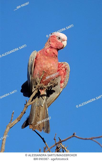 Galah Cockatoo, Australia, Stock Photo, Picture And Low
