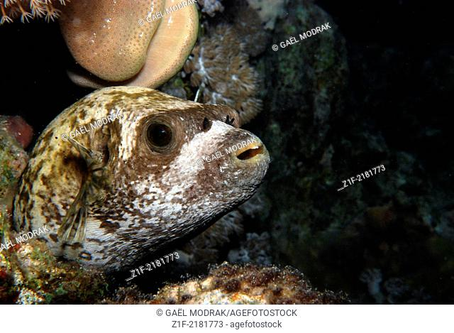 Masked puffer waiting for the night to fall on the Fury shoal's reef, red sea Egypt. Arothron diadematus