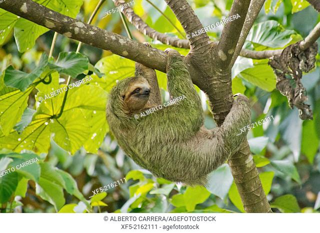 Pale-throated Sloth, Bradypus tridactylus, Three-toed Sloth, Tropical Rainforest, Marino Ballena National Park, Uvita de Osa, Puntarenas, Costa Rica