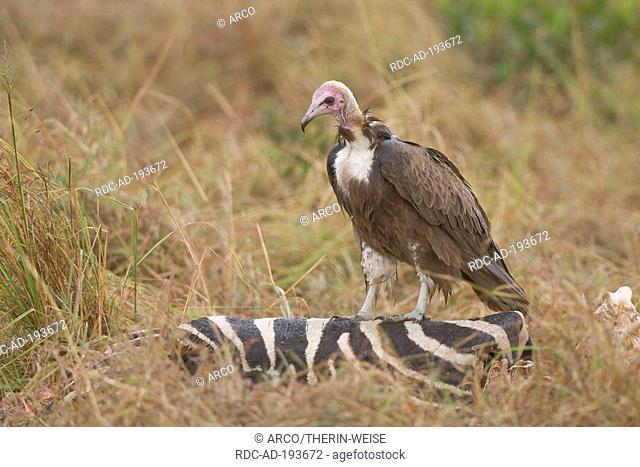 Hooded Vulture at zebra carcass, Masai Mara game reserve, Kenya, Necrosyrtes monachus
