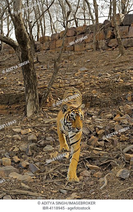 Indian or Bengal tigress (Panthera tigris tigris) walking in dry and rocky terrain, Ranthambore National Park, Rajasthan, India