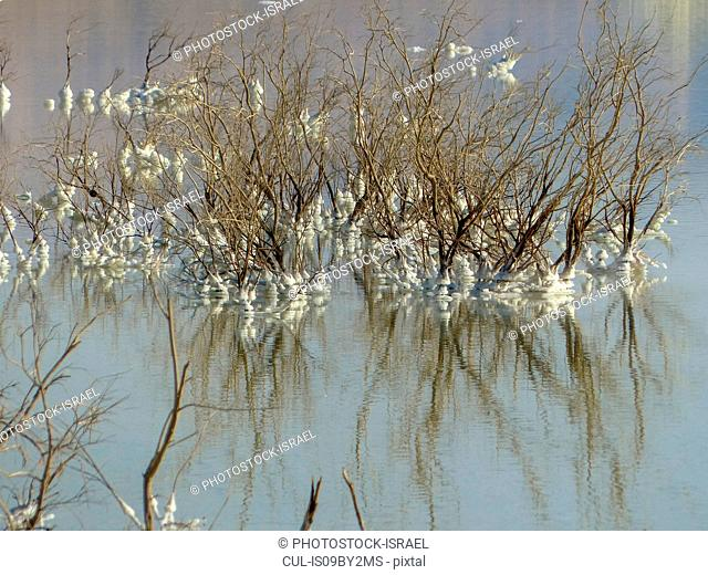 Crystallised salt wrapped around twigs, Dead Sea, Israel