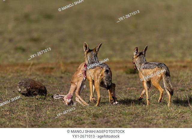 Blac-backed Jackals carrying an Impala kill, Masai Mara National Reserve, Kenya