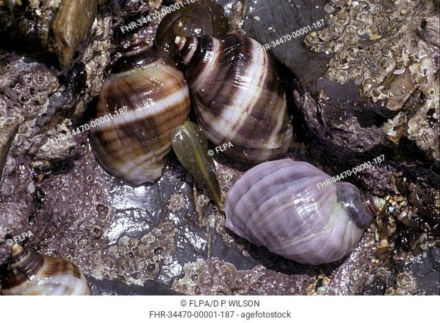 Shell - Dog Whelk Nucella lapillus close-up of group on sea shore / North Cornwall