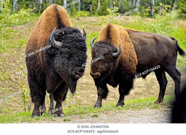 Wood Buffalo/Bison (Bison bison athabascae) Roadside bull , Wood Buffalo Naional Park, Alberta, Canada