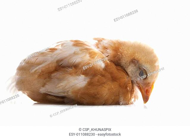 close up of young chicken with brow