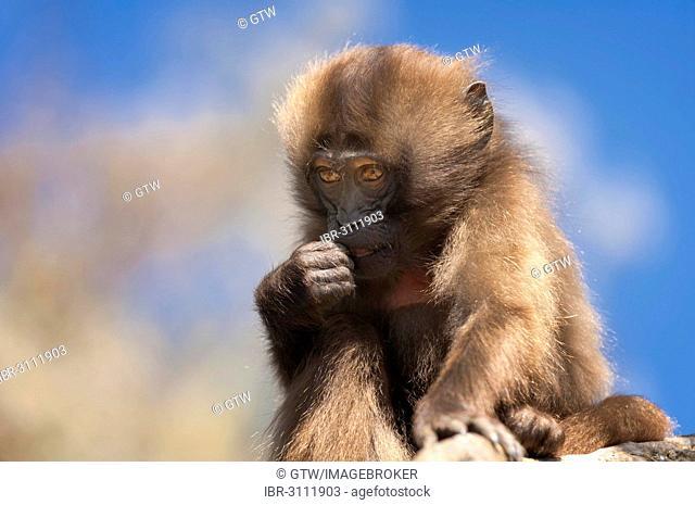 Gelada baboon (Theropithecus gelada), baby, Simien Mountains National Park, Amhara Region, Ethiopia