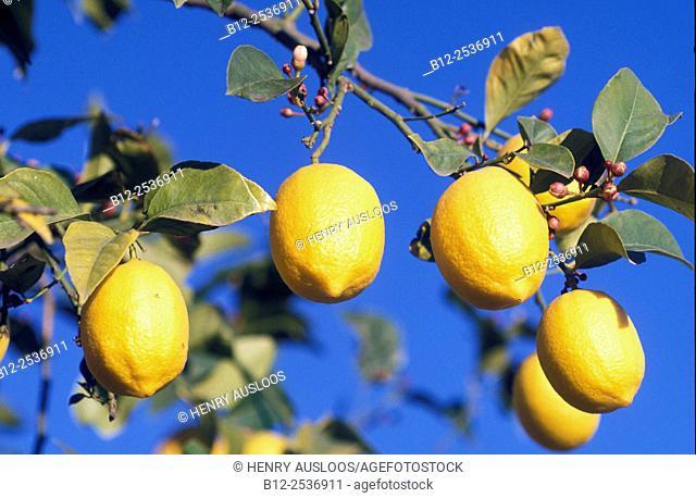 Lemon, Spain, Citrus limon