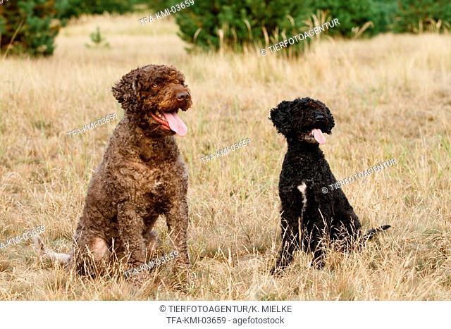 2 Perro de Agua Espanol