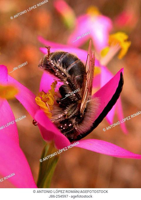Bee on flower (Centaurium erythraea)