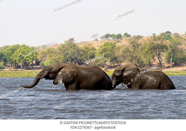 African Elephants (Loxodonta africana), crossing the river, Chobe National Park, Botswana