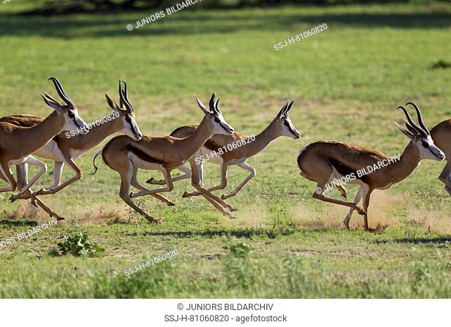 Springbok (Antidorcas marsupialis) Herd fleeing a Lion. During the rainy season in green surroundings