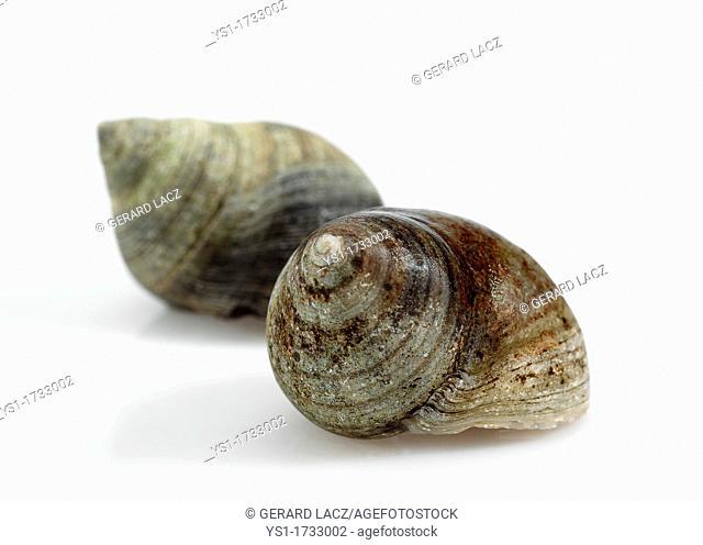 Common Periwinckle, littorina littorea, Shell against White Background