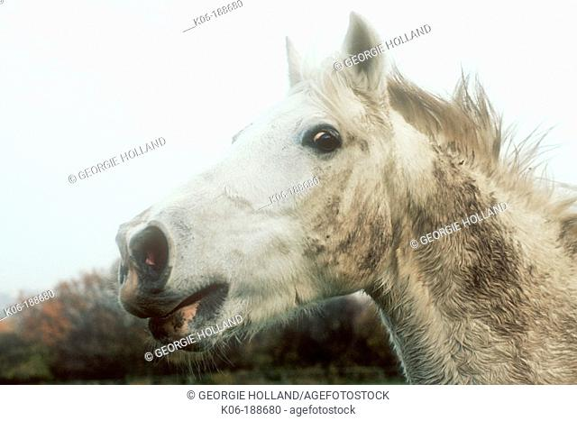 Horse whinnying