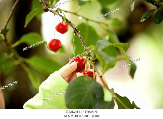 Little girl's hand picking cherry from a tree