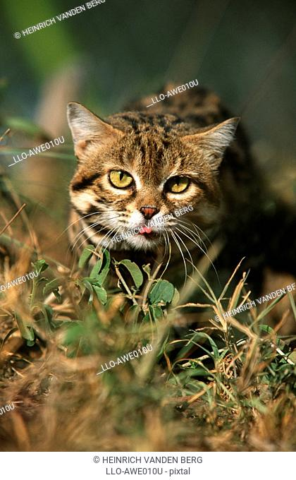 African Wildcat Felis Lybica - Looking at the Camera  Kapama Private Reserve, Limpopo Province, South Africa