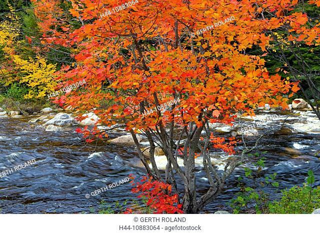 Swift River, USA, Amerika, Vereinigte Staaten, New Hampshire, White Mountain, Fluss, Baum, Ahorn, Verfärbung, Indian Summer, Her