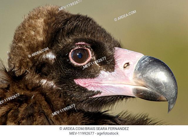 Cinereous Vulture - portrait - Castile and Leon, Spain