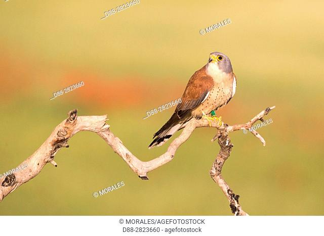 Europe, Spain, Catalogna, Lesser Kestrel, Male perch on a branch near the artificial cavity of a building entirely constructed for the nesting of these birds...
