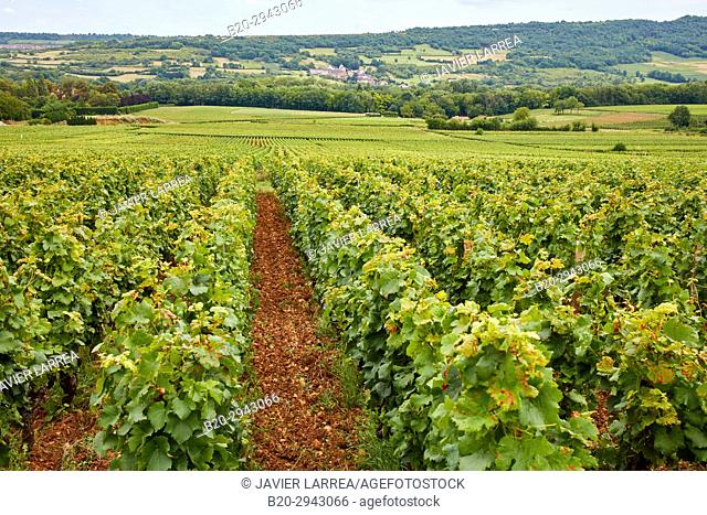 Vineyards, Côte de Beaune, Santenay, Côte d'Or, Burgundy Region, Bourgogne, France, Europe