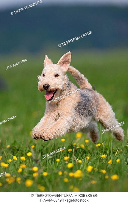 running Lakeland Terrier