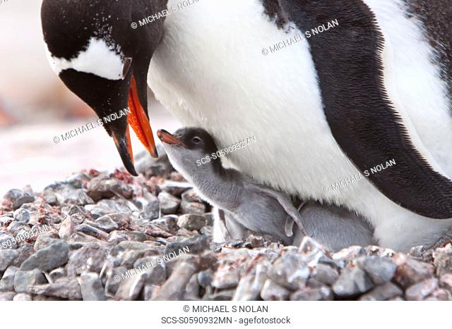 Gentoo penguin parent Pygoscelis papua with chicks in Antarctica, Southern Ocean MORE INFOThe gentoo penguin is the third largest of all penguins worldwide