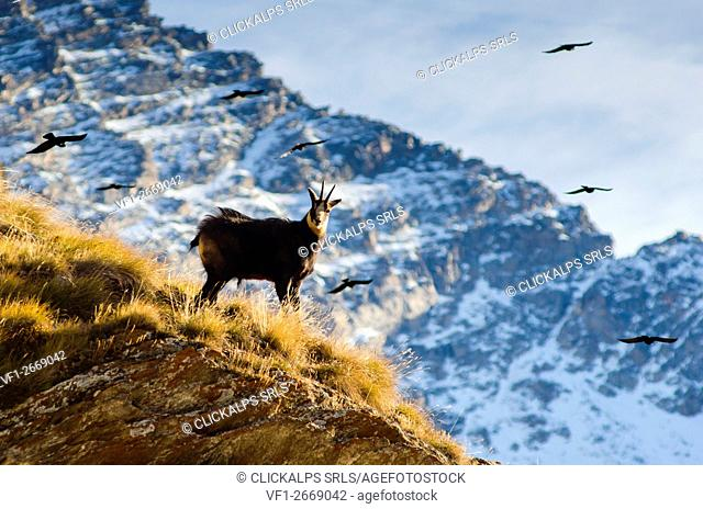 Chamois (Orco Valley, Gran Paradiso National Park, Piedmont, Italy)