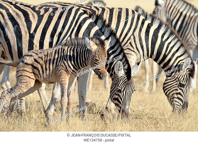 Two Burchell's zebras (Equus burchelli), grazing, and a young foal urinating, Etosha National Park, Namibia, Africa