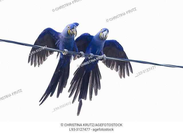Hyazinth macaws, Anodorhynchus hyacinthinus, sitting on power line, Mato Grosso, Pantanal, Brazil