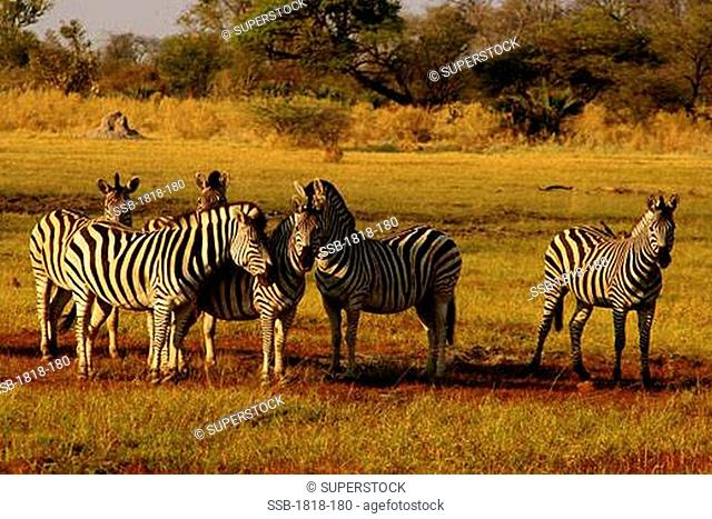 Zebras grazing in a field, Okavango Delta, Botswana