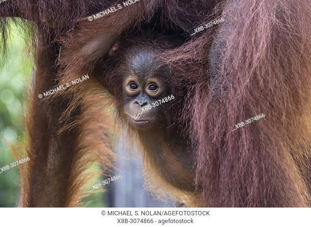 Mother and baby Bornean orangutans, Pongo pygmaeus, Buluh Kecil River, Borneo, Indonesia